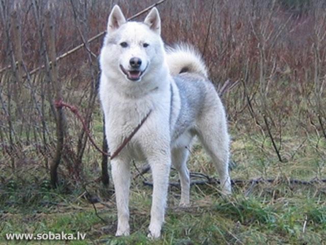 фото сибирской лайки
