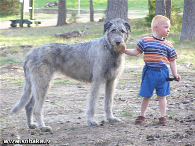 Irish wolfhound Vejgari Friga