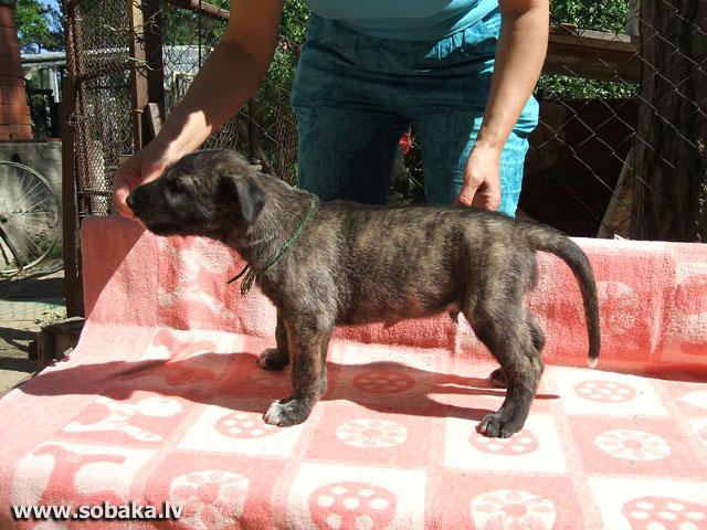 Irish wolfhound Vejgari Jerom