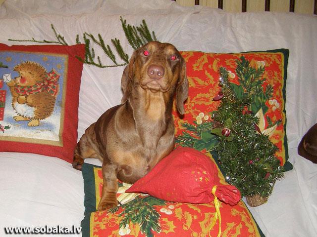 черныш фото собака