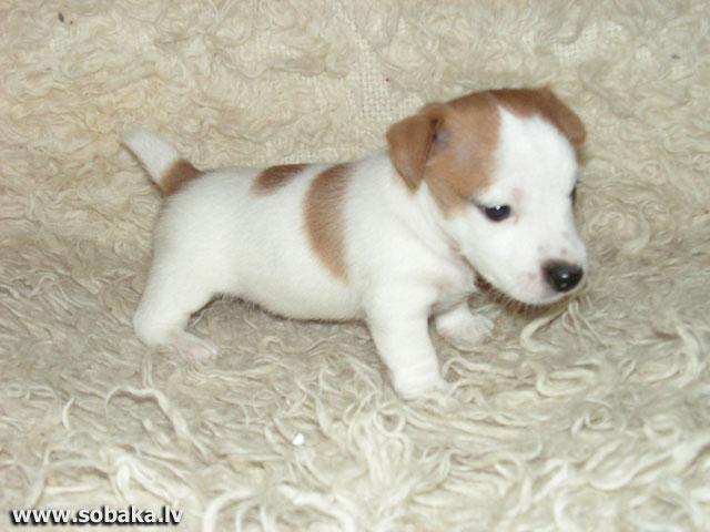 фото породы собаки джек-рассел-терьер