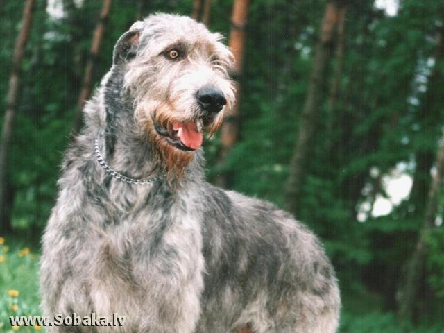 Ирландские волкодавы - общий фотоальбом Вейгари Антей Питомник ВЕЙГАРИ