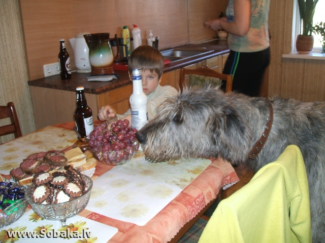 Irish wolfhound Vejgari Joser