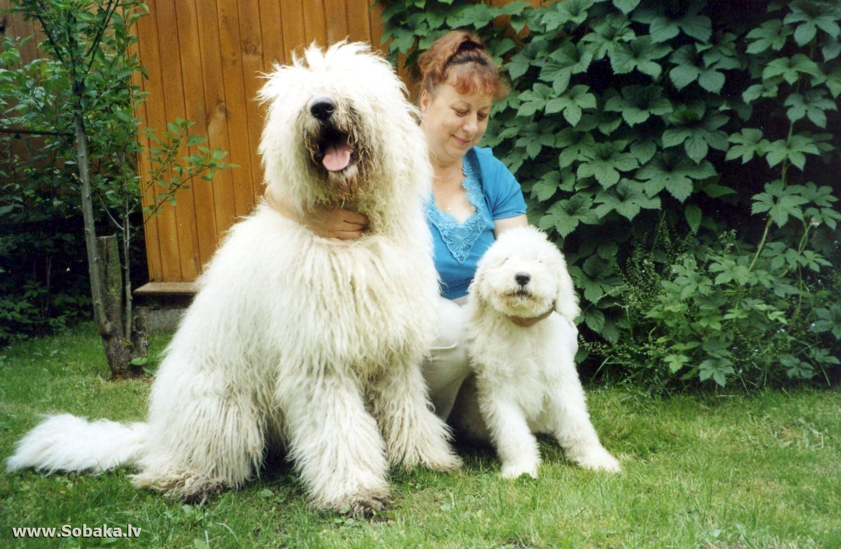 Командор щенок фото