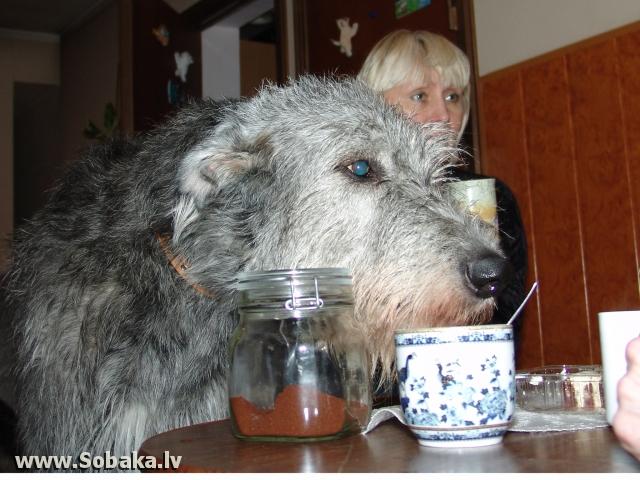 Vejgari Haisi 4 years (13.03.2010) Kennel VEJGARI