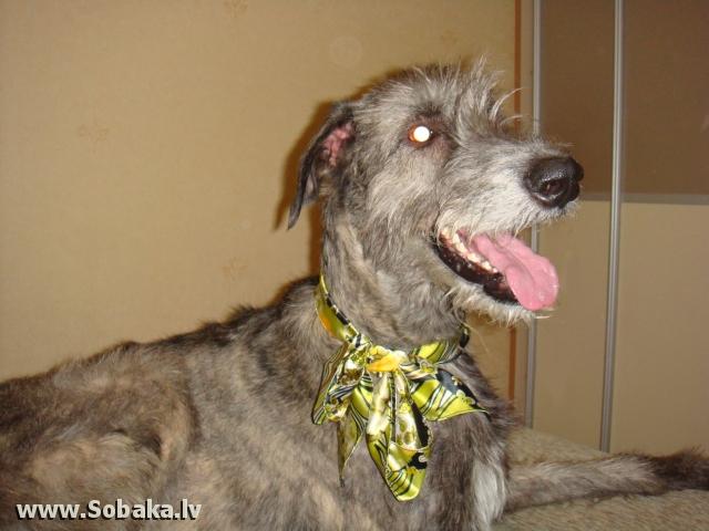 Irish wolfhound Vejgari Jasmin At Volshebniy Les