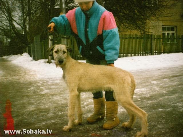 Irish wolfhound Vejgari Cafei