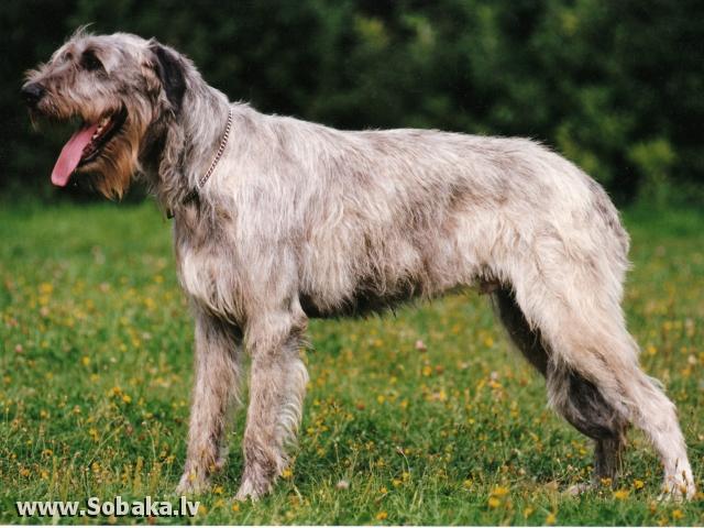 Irish wolfhound Vejgari Cerber