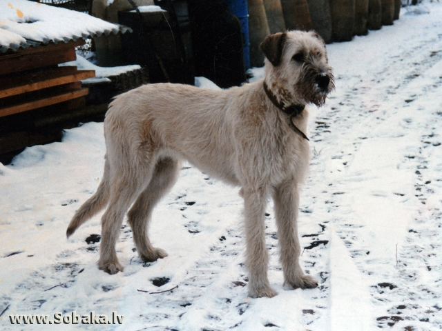 Irish wolfhound Vejgari Calf