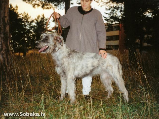 Irish wolfhound Vejgari Celanija