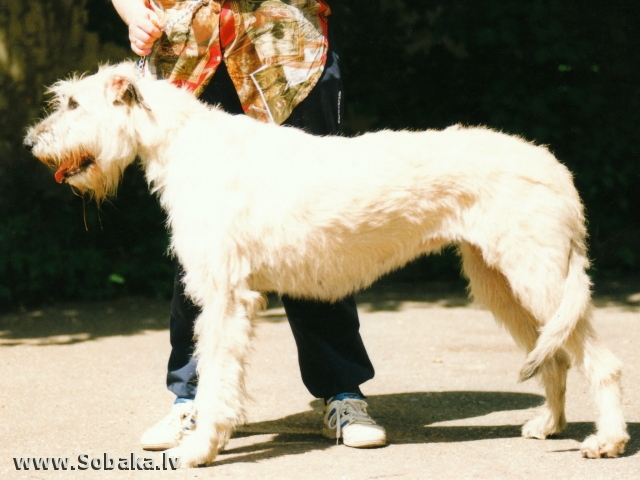 Irish wolfhound Vejgari Coiga