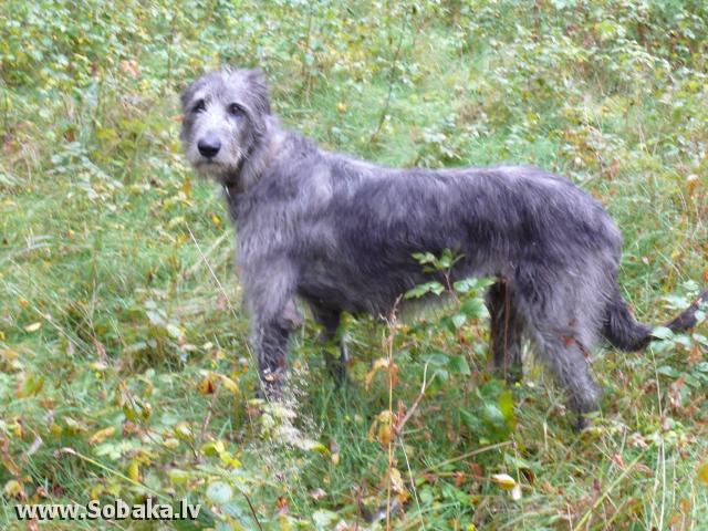 Irish wolfhound Vejgari Ilana