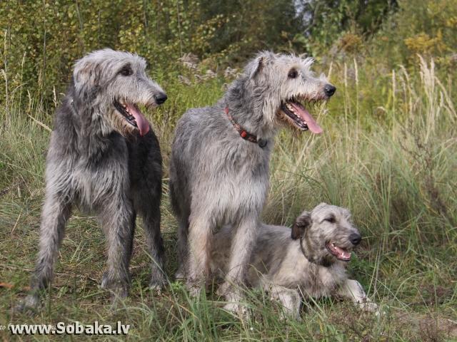 Irish wolfhounds Foto by Jolanta B., 20.03.2010. Kennel VEJGARI