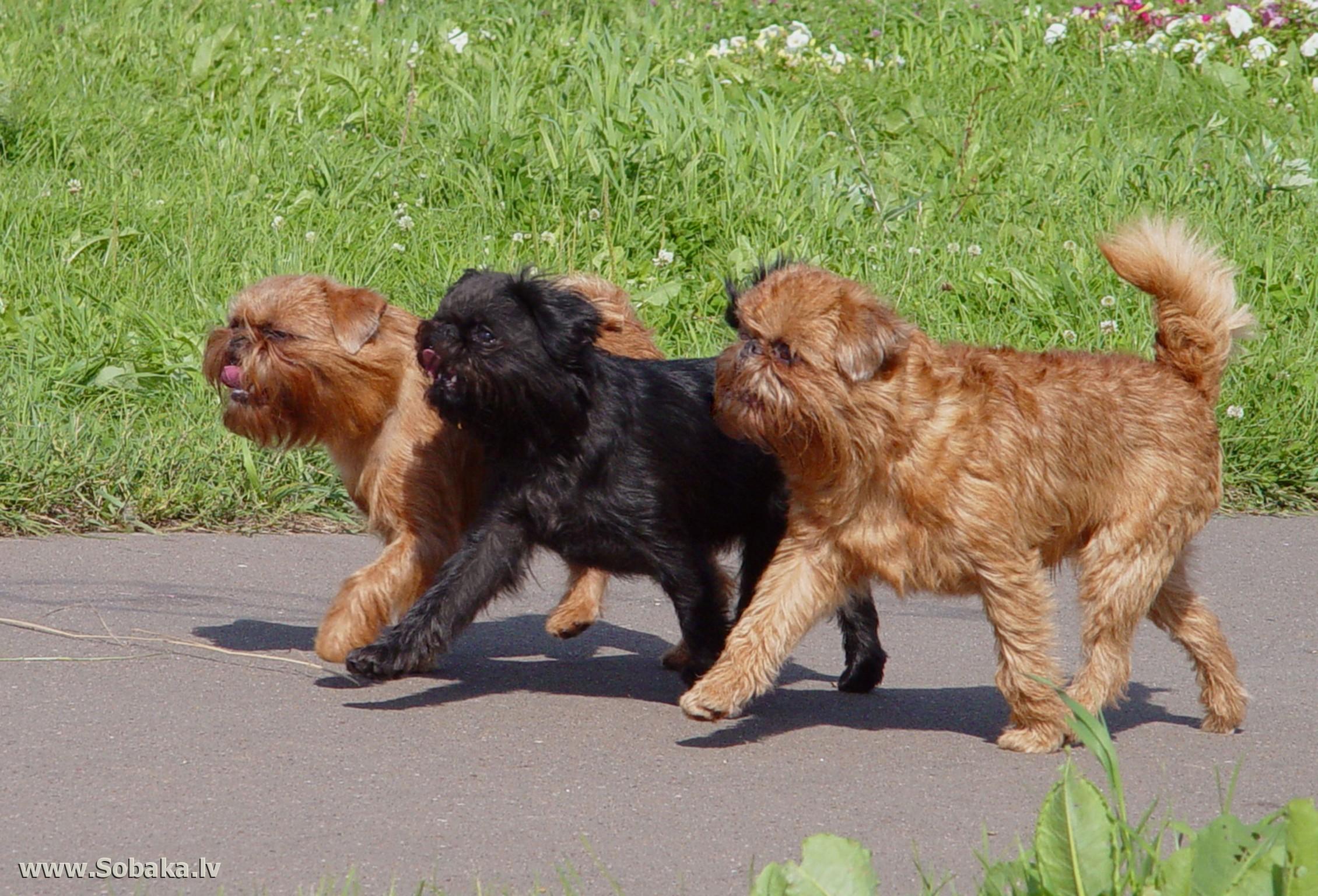 характер породы собаки голубой гасконский гриффон