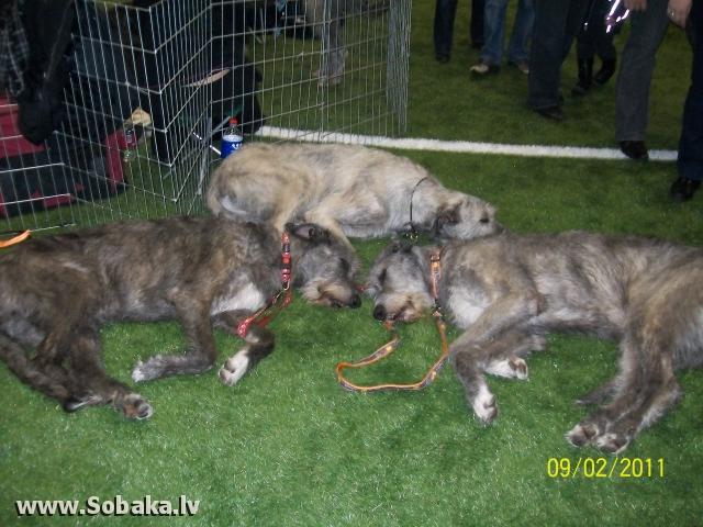 Irish wolfhounds 12.02.2011. June, Jana, Kesha Kennel VEJGARI