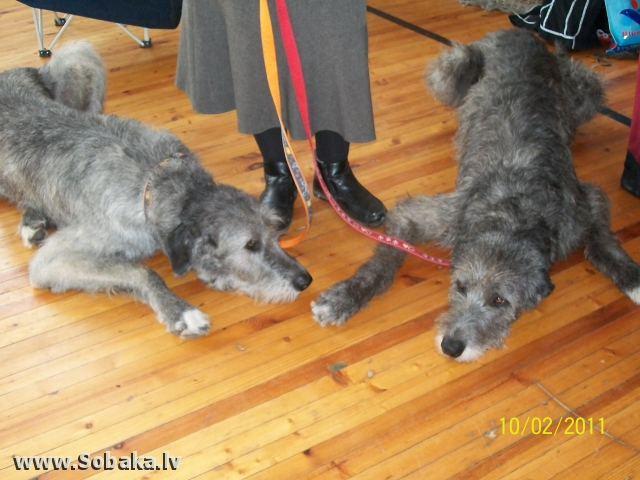 Irish wolfhounds 13.02.2011. June & Jana Kennel VEJGARI