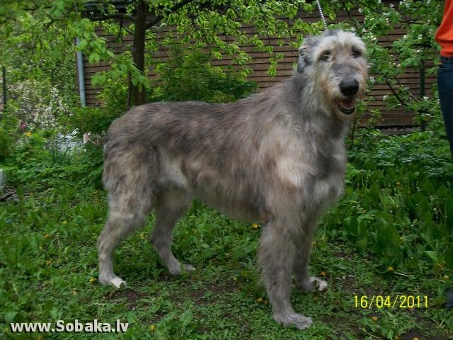 Irish wolfhound Vejgari Fetida