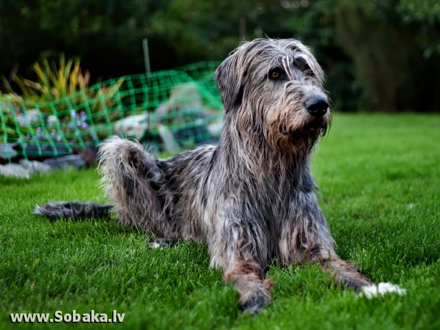 Irish wolfhound Vejgari Jarlath At Volshebniy Les