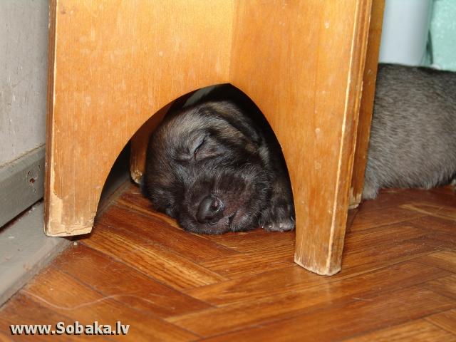 Irish wolfhound Vejgari Mishka