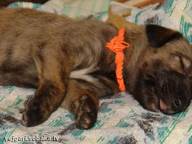 Irish wolfhound Vejgari Nelsonas Mielas Kupidonas