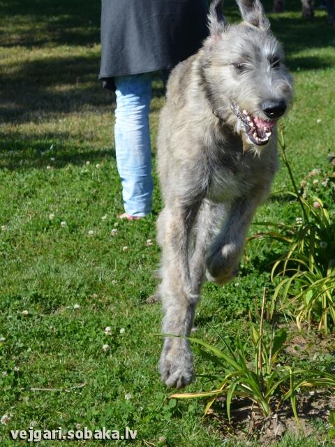 Irish wolfhound Vejgari Nord