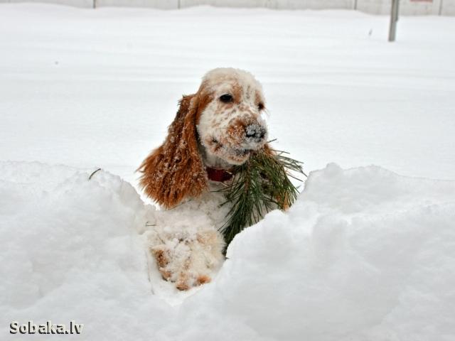 Зима кокер спаниель