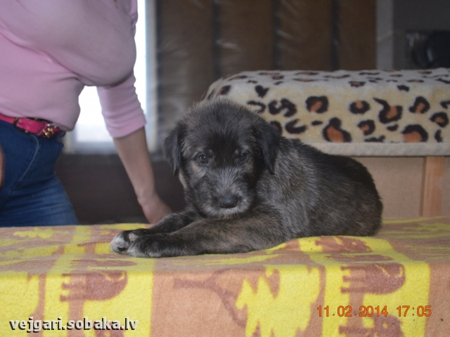 Irish wolfhound Vejgari Olsi