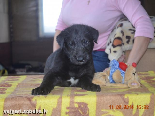 Irish wolfhound Vejgari Olis