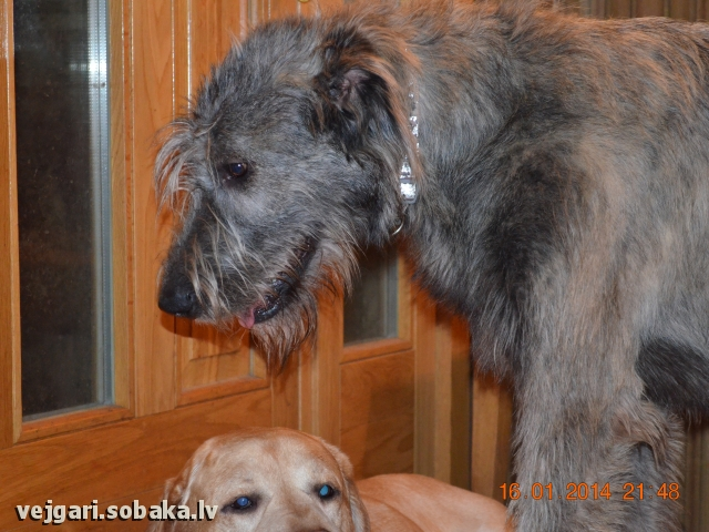 Irish wolfhound Vejgari Nyusha Kupidonas