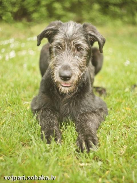 Irish wolfhound Vejgari Orsa