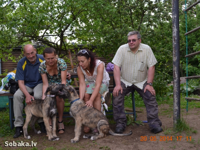 Irish wolfhounds Lany Leana & Loman Kennel VEJGARI