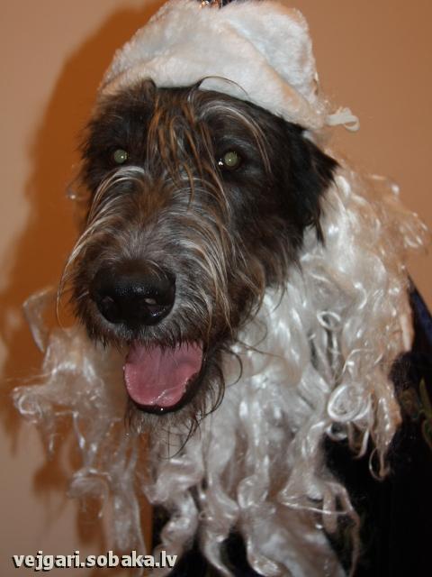 Irish wolfhound Vejgari Oushen