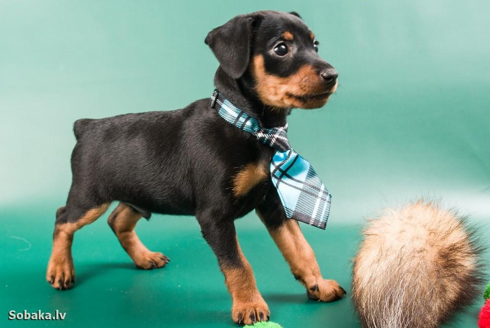 крокусы значит, щенок цвергпинчера очень гиперактивный это нормально назначение эффективного лечения
