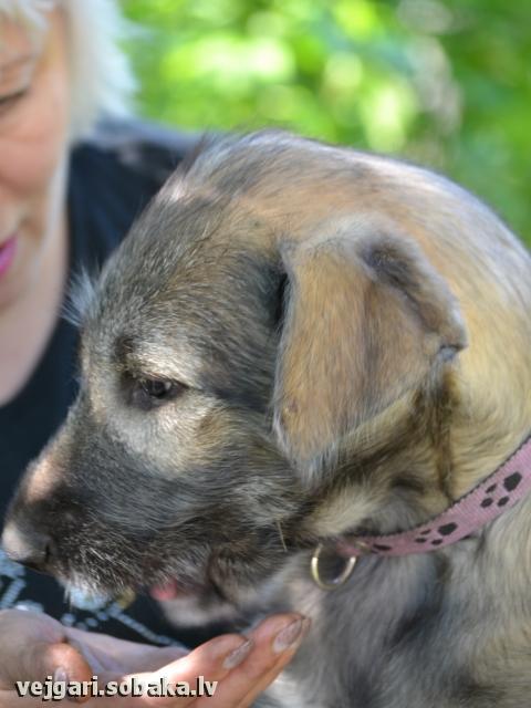 Irish wolfhound Vejgari Pyshka