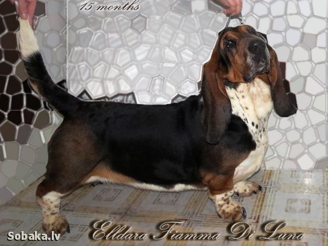 Basset hound Ukraine. 