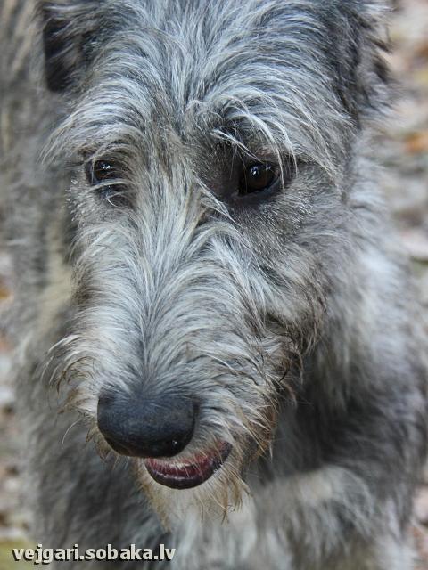 Irish wolfhound Vejgari Pele