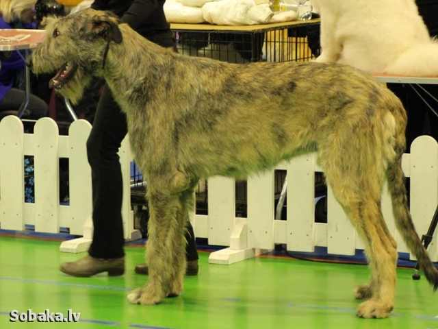 Puppies Westland Acorn`s H...
