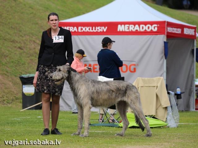 Irish wolfhound Vejgari Odri