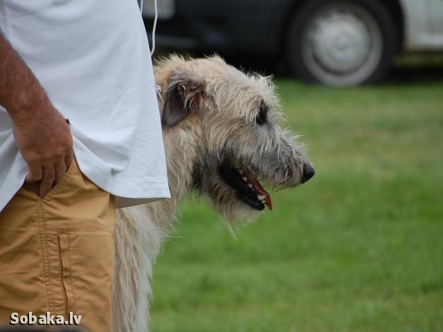 Irish wolfhound Vejgari Phoenix