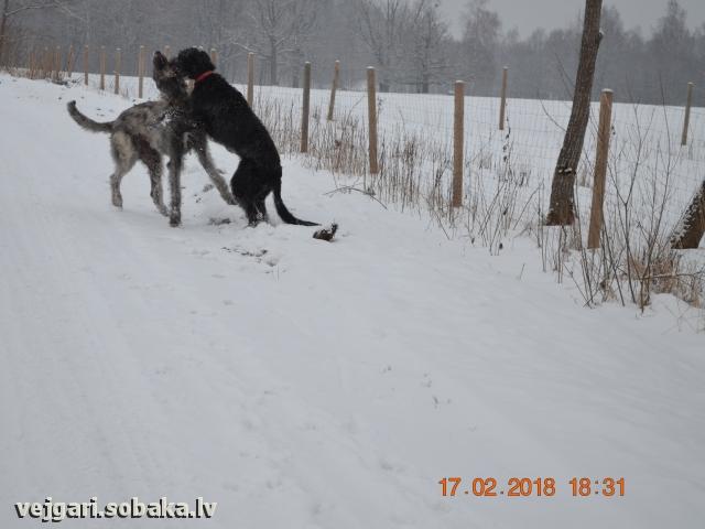 Ирландские волкодавы Пакс и Мамба  Питомник ВЕЙГАРИ