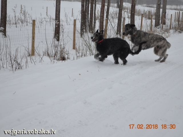 Irish wolfhounds Pax & Mamba