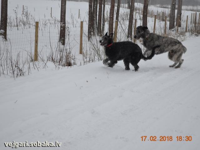 Ирландские волкодавы Пакс и Мамба