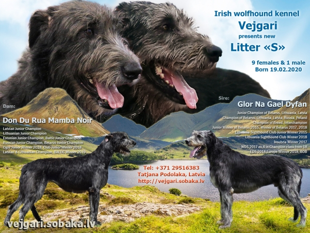 Irish wolhound puppies!