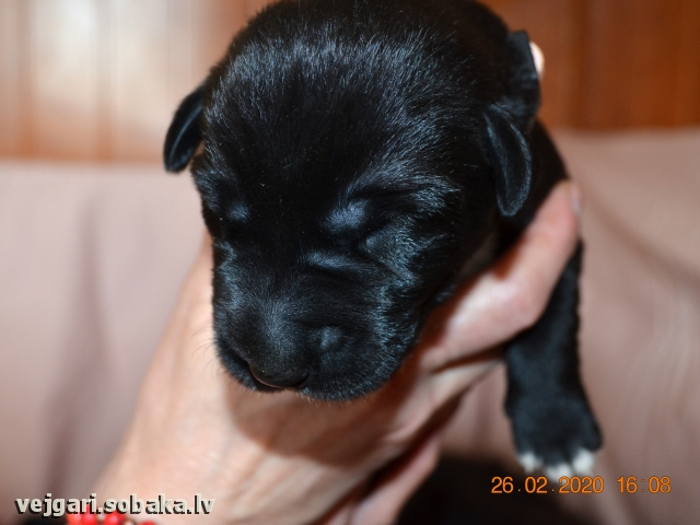 Puppy № 1 - Samba  Kennel VEJGARI