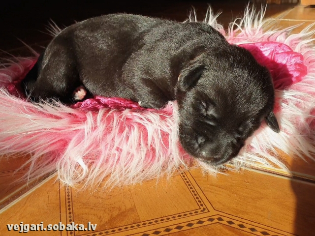 Puppy № 1 - Samba 11 days Kennel VEJGARI
