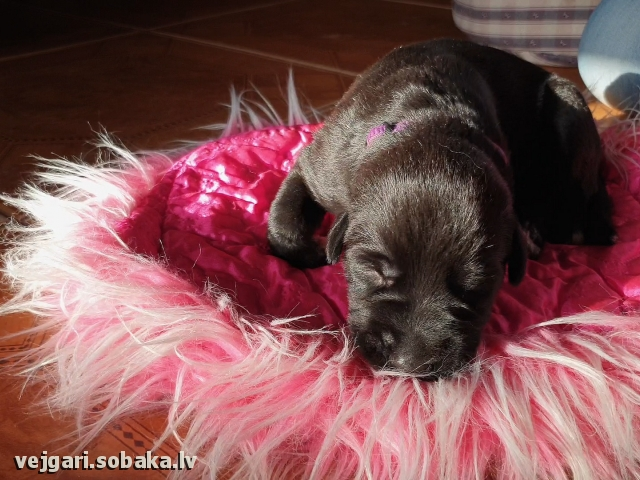 Puppy № 10 - SAPFIRA