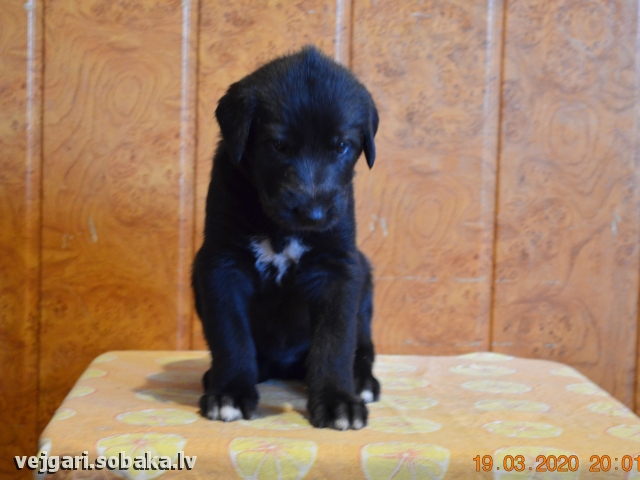 Irish wolfhound, photo 112834