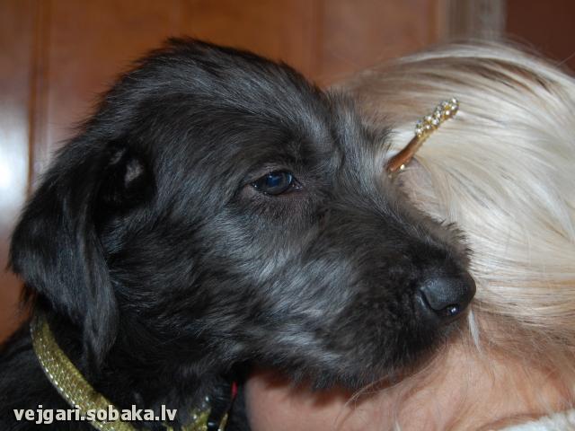 Irish wolfhound Vejgari Sonya