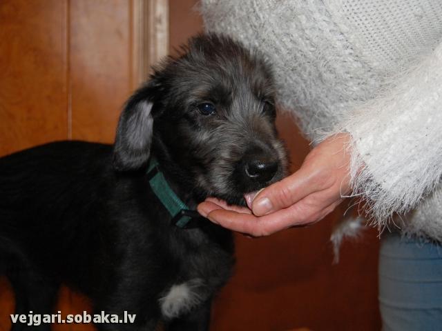 Irish wolfhound Vejgari Sabiya