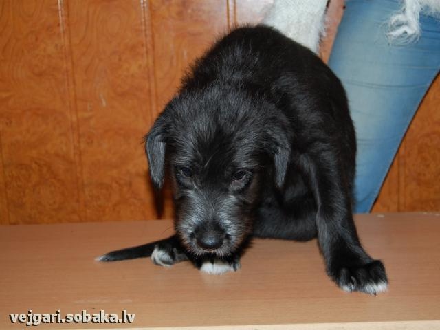 Irish wolfhound Vejgari Scally